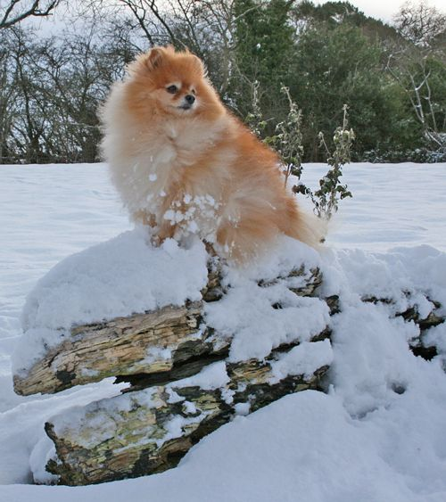 Orange Pomeranian ~   House and Hound   Pinterest