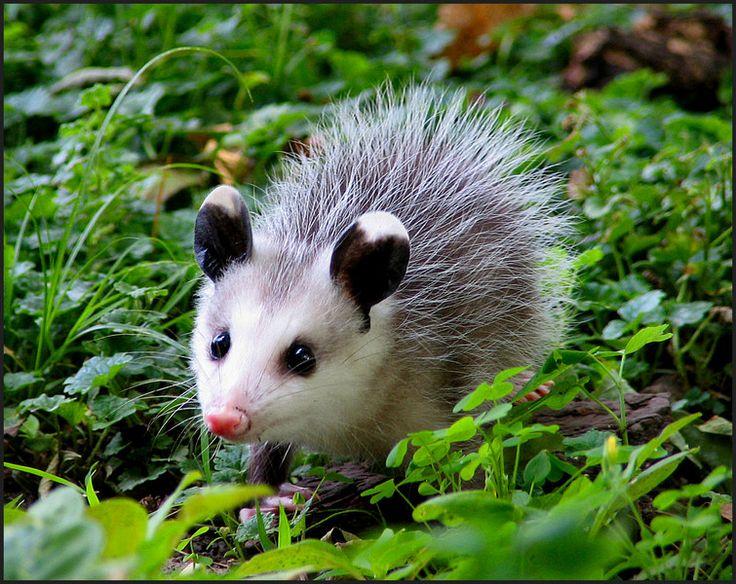 Cute! A Baby Opossum | Animals | Pinterest