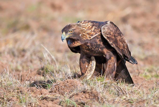 Eagle eating snake sketch