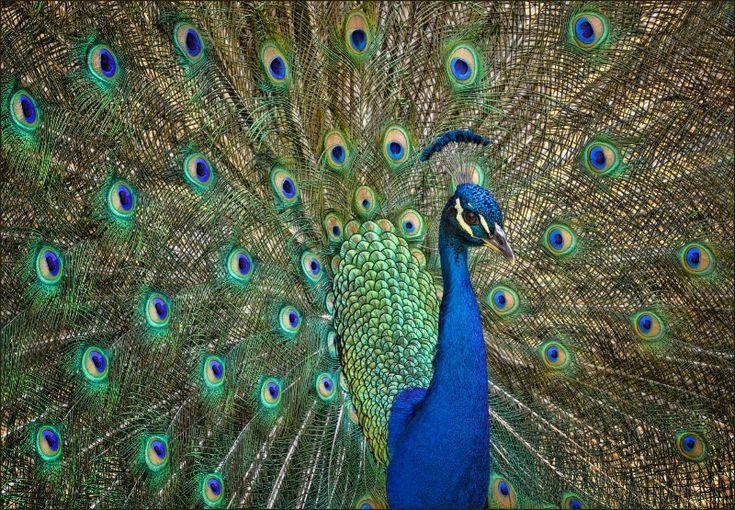 Pretty Boy, Marilyn Lincecum | Peacock Pride | Pinterest