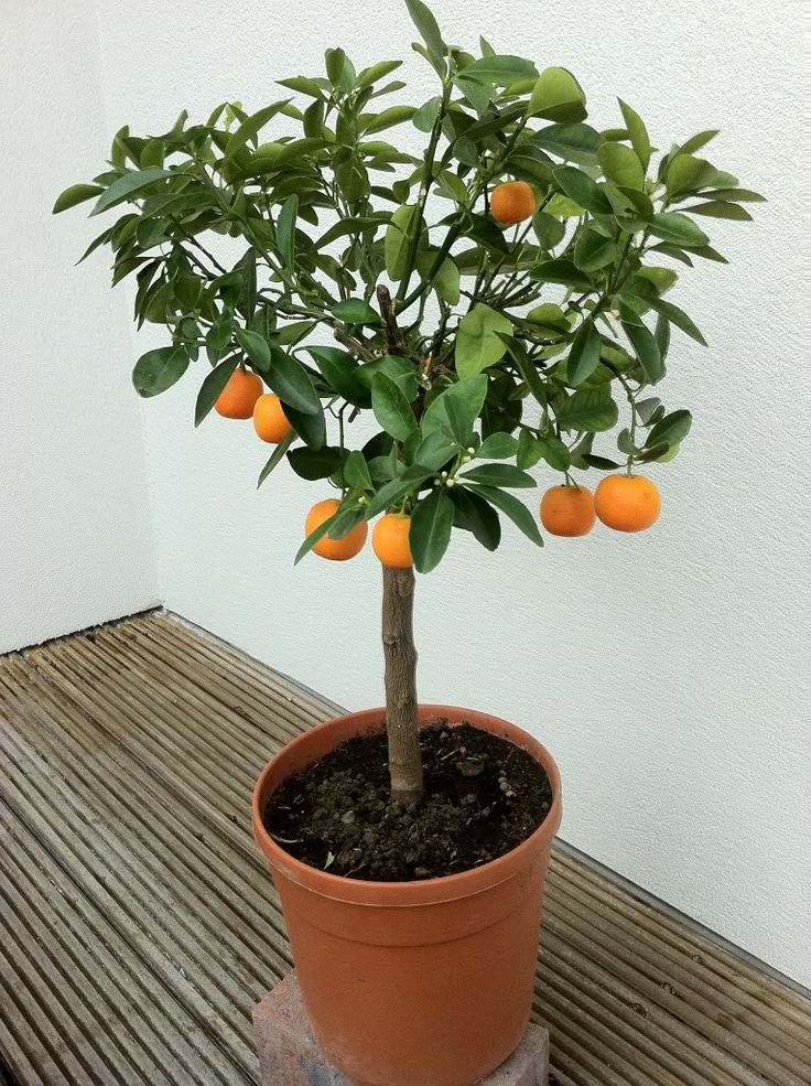 Perfect Indoor Citrus Tree Garden Walk Pinterest