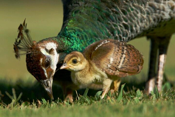 Baby peacock :)   PeACoCK bAbIEs   Pinterest