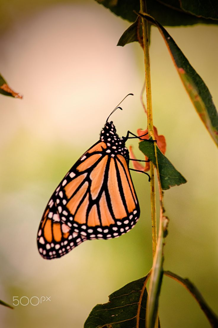 Monarch butterfly legs