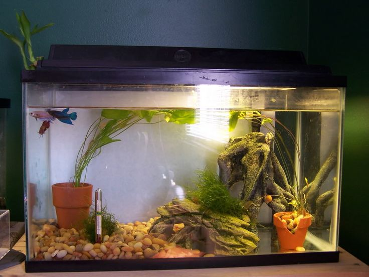 Betta tank pictures bettas and fish pinterest for What fish can live with bettas