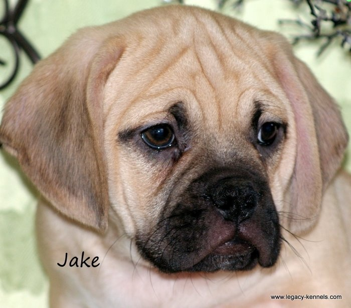 Dog With Wrinkled Face Breeds | Search Results | Dog Lover