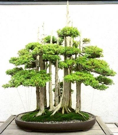 how to grow bonsai plants indoors