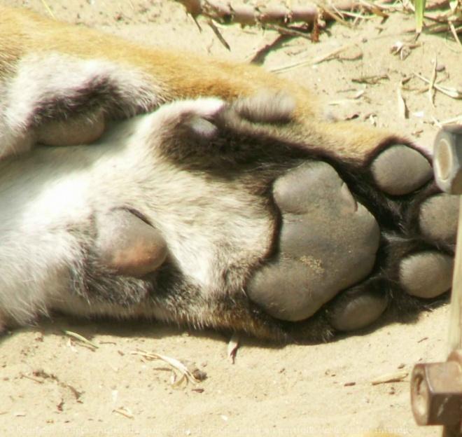 Pattes de tigre | Papattes et coussinets | Pinterest