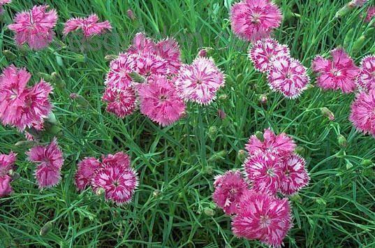 Cottage Pink Dianthus Plumarius Garden Perennials