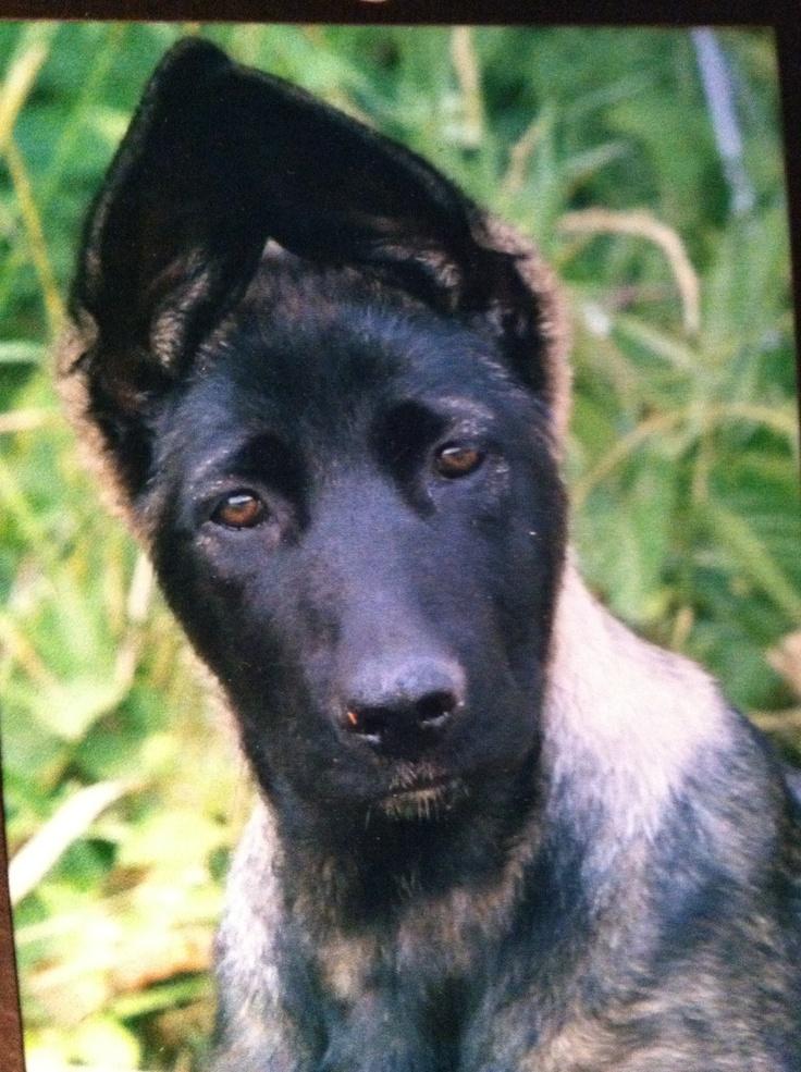 Norwegian Elkhound German Shepherd Mix