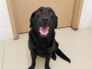 ... German Shorthaired Pointer Lab Mix under Labrador Retriever Dog Facts