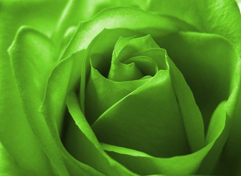 Lime green color rose color green hues and inbetween for Green colour rose images