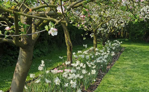 Planting Under Deciduous Trees : To plant early spring bulbs such as daffodils under deciduous trees