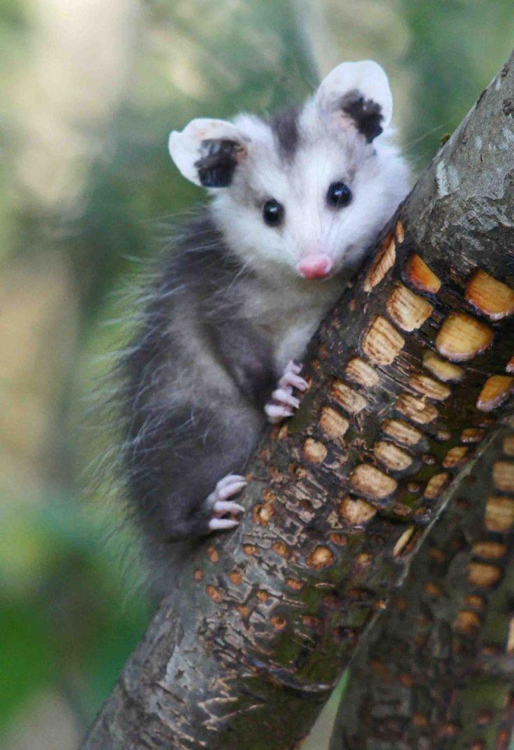 Baby Opossum 8x10 Photo Mounted In A Cream 11x14 Single