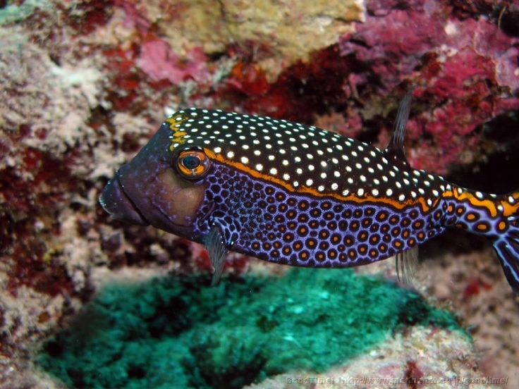Whitespotted Boxfish; from The Featured Creature