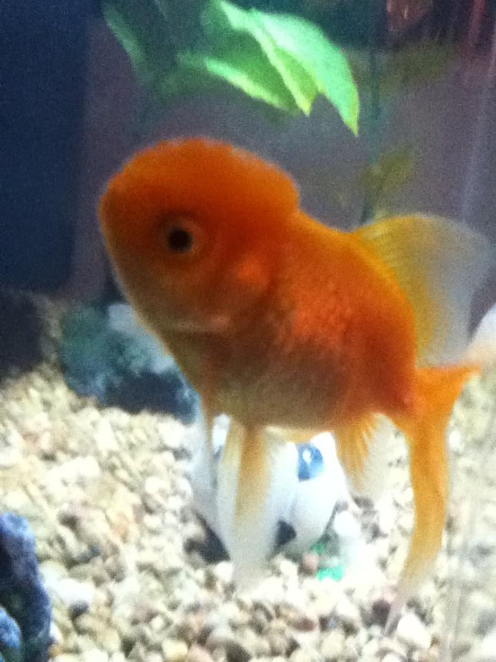 Cute Pet Fish : Cute fish. Maggies fish Phoebe or Sherbet.