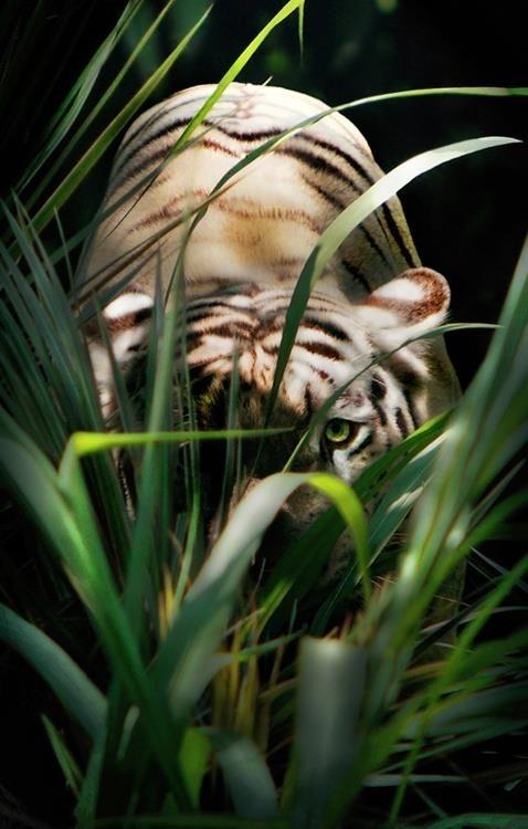 peek-a-  boo white tiger
