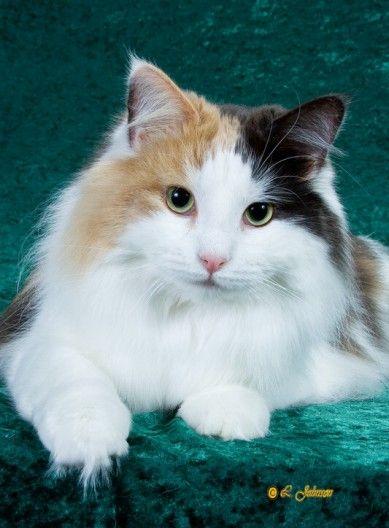 calico Norwegian Forest Cat | Norwegian Forest Cat | Pinterest