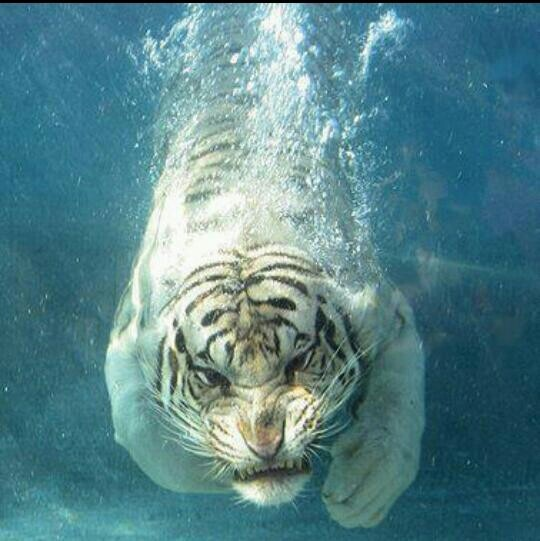 White tigers in water - photo#8