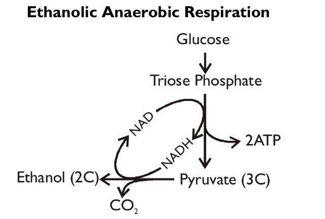 Ethanolic anaerobic respiration. | AQA A2 Biology (Unit 4 ...