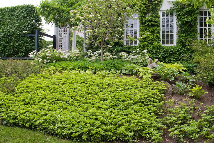 Pachysandra shade loving ground cover garden lawn for Landscaping ground cover plants