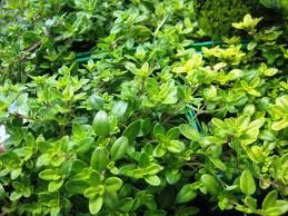 growing thyme plants | Beautiful Herbs | Pinterest