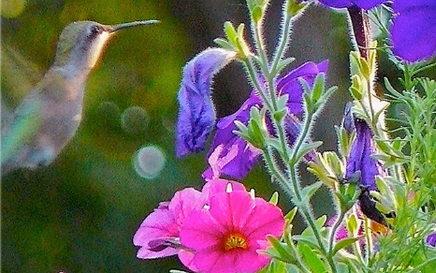 Hanging Flower Baskets To Attract Hummingbirds How To