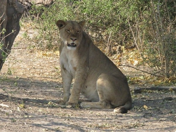 Lioness Giving Birth