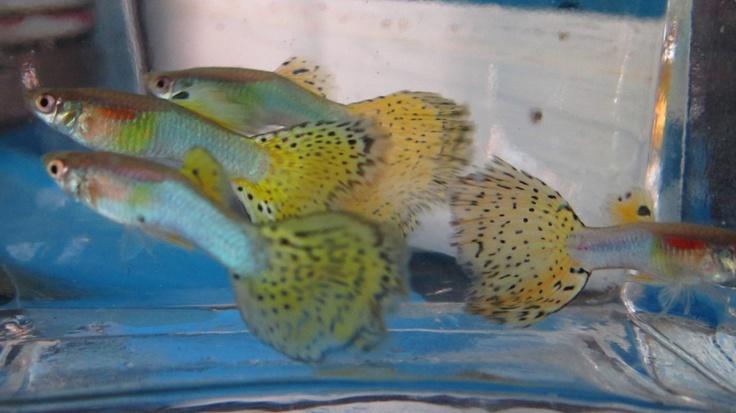 Pin guppy fish tank temperature yom kippur war oil embargo for Tropical fish temperature