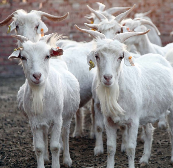 Baby cashmere goat - photo#5