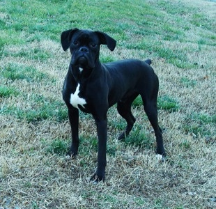 sealed brindle boxer to download sealed brindle boxer just right click ...
