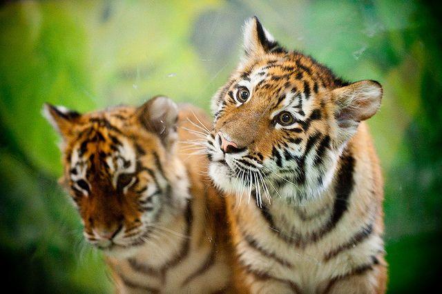 Siberian Tiger cubs | I Like | Pinterest Cute Siberian Tiger Cubs