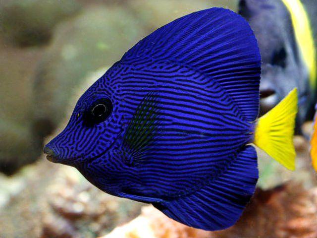 Purple Tang | Fishoes - Inspiration | Pinterest