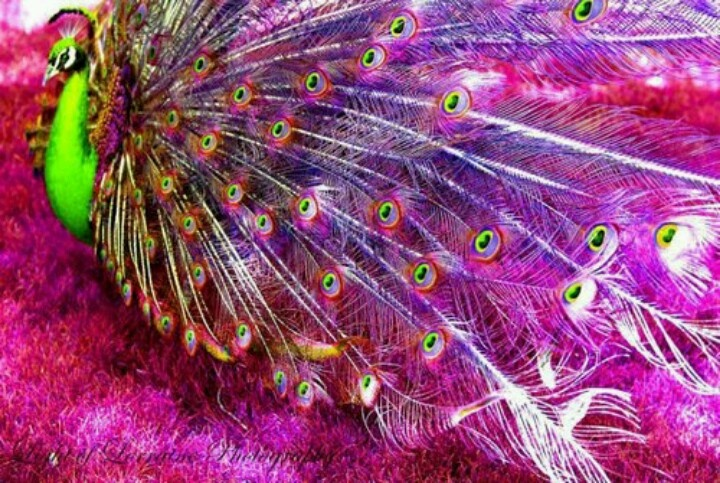 Are pink peacocks real - photo#14