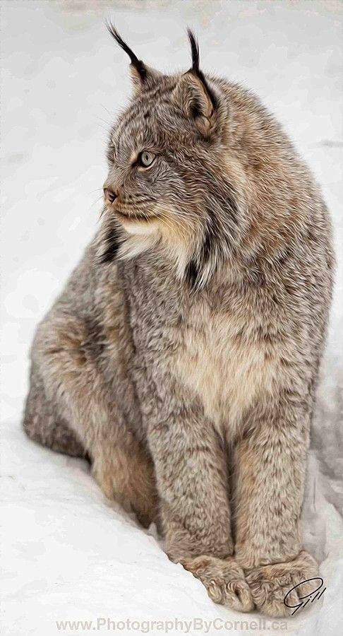 """the siberian lynx The siberian lynx is the largest of the lynx species the lynx has relatively long legs, and large feet which provide a """"snowshoe effect"""" for more efficient travel through deep snow in winter, the fur grows very densely on the bottom of the feet."""
