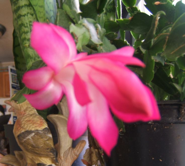 Christmas cactus blooming 12/13/13 | Outdoors through the years | Pin ...