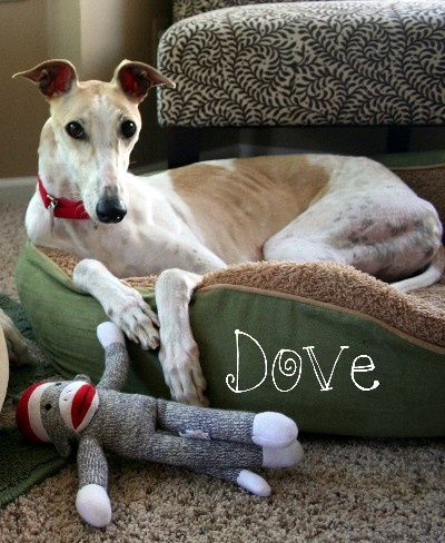Michigan Greyhound Connection | Michigan's original greyhound rescue group | Foster Dogs