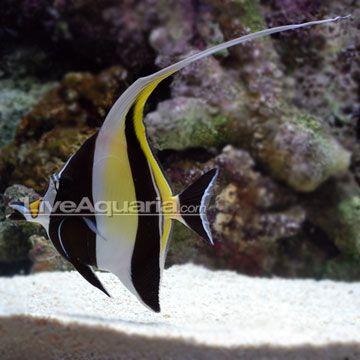 Moorish idol saltwater aquarium pinterest for Moorish idol fish