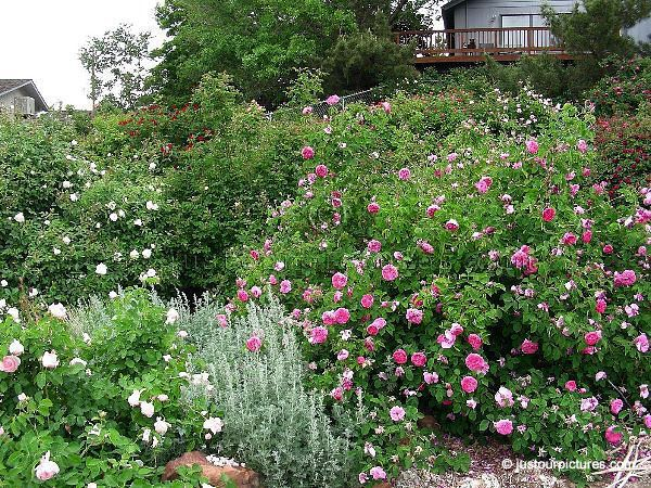 Baronne Prevost bush Garden Rose Garden Designs