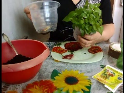 Как вырастить рассаду портулак в домашних условиях