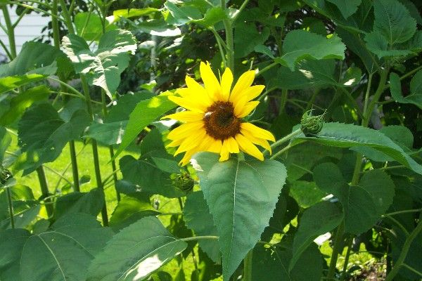 How to Grow Sunflowers, Growing Sunflowers, Sunflower Plants