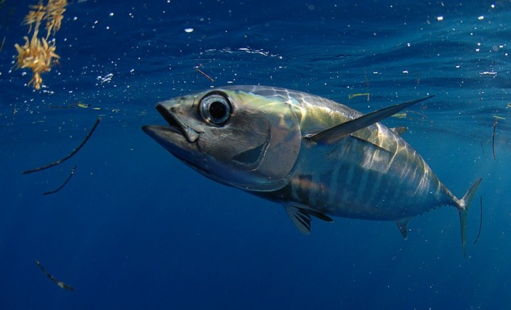 Blackfin tuna underwater photography pinterest for Is tuna fish good for you