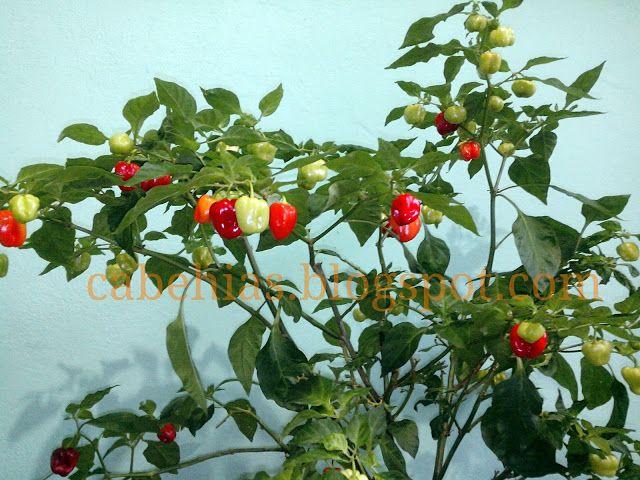 Jual Benih Cabe Hias Garden Pinterest