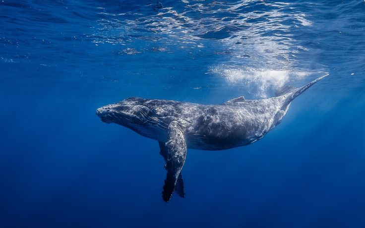 Blue whale underwater - photo#6