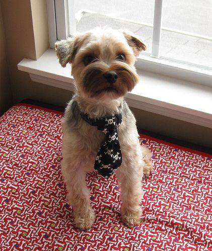Dog Tie by yorkiemischief, via Flickr | DIY | Pinterest