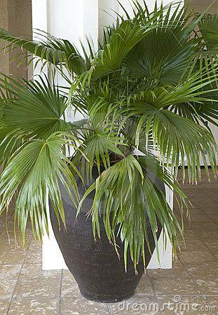 Potted Palm Tree Sunroom Patio Pinterest