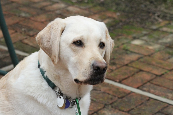 Bradley! Yellow Lab and service dog. | Just Labs | Pinterest