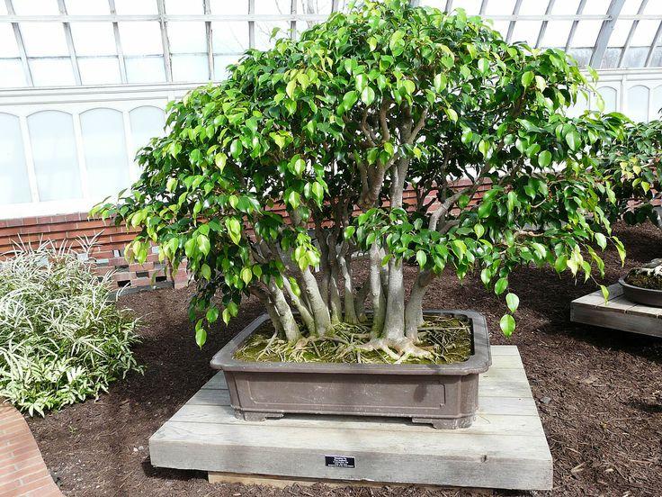 ficus benjamina weeping fig bonsai multiple trunks. Black Bedroom Furniture Sets. Home Design Ideas