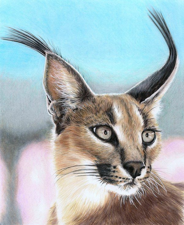 Caracal drawing - photo#12