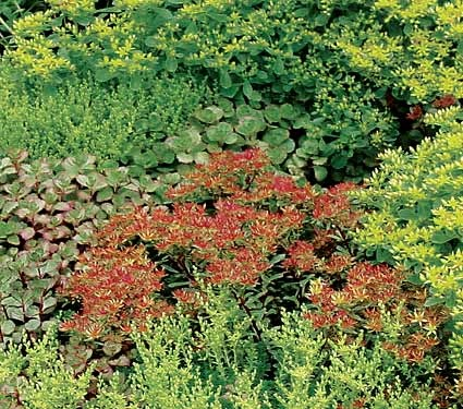 Sedum low maintenance ground cover gardening pinterest
