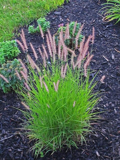 Pennisteum oriental fountain grass landscaping ideas for Fountain grass landscaping ideas